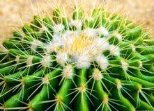 Cactus species Echinocactus grusonii, golden barrel cactus. The golden barrel cactus, Echinocactus grusonii in the rock garden stock photo
