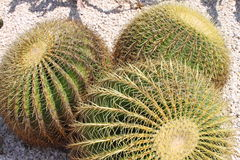 Golden barrel cactus, Echinocactus Grusonii. Some golden barrel cactus, Echinocactus Grusonii Royalty Free Stock Photography