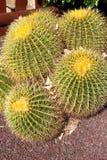 Golden barrel cactus, Echinocactus Grusonii. Some golden barrel cactus, Echinocactus Grusonii stock photo