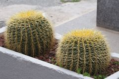 Golden Barrel Cactus in the flower bed outside. Horizontal royalty free stock images