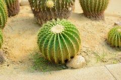 Golden Barrel Cactus. In a Cactus garden royalty free stock photos