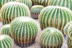 Golden Barrel Cactus in a garden. Royalty Free Stock Images