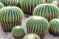 Golden Barrel Cactus in a garden. Royalty Free Stock Photo