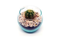 Golden Barrel Cactus. In glass pot with stone and dirt royalty free stock image