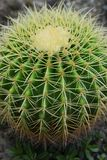 Golden barrel cactus royalty free stock image