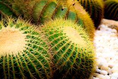 Golden Barrel Cactus growing in a cactus garden. Golden Ball Cactus Echinocactus Grusonii Mexico. There is a look like a ball. It has a golden thorn. Popularly royalty free stock photos