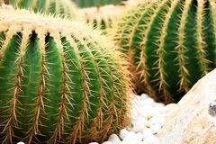 Golden Barrel Cactus growing in a cactus garden. Golden Ball Cactus Echinocactus Grusonii Mexico. There is a look like a ball. It has a golden thorn. Popularly royalty free stock photo