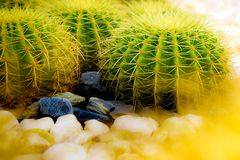Golden Barrel Cactus growing in a cactus garden. Golden Ball Cactus Echinocactus Grusonii Mexico. There is a look like a ball. It has a golden thorn. Popularly stock photos