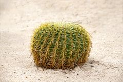 Golden barrel cactus growing in white sand closeup. Golden barrel cactus growing in white sand close-up royalty free stock photos
