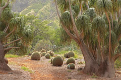 Golden Barrel Cactus. In Koko Head Botanical Gardens in Oahu, Hawaii Stock Images