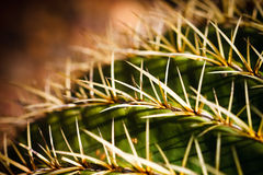 Golden Barrel Cactus Macro Stock Photos