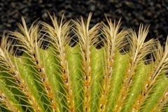 Golden barrel cactus macro. Cactus macro, barrel cactus - mother in law`s cushion stock photography