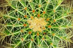 Golden Barrel Cactus(Mila sp.) in close up Royalty Free Stock Images