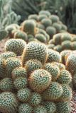 Golden barrel cactus in nature. Echinocactus grusonii, popularly known as the golden barrel cactus, golden ball or mother-in-law`s cushion, is a well known royalty free stock images
