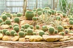 Golden Barrel Cactus plant Royalty Free Stock Image