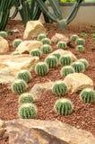 Golden Barrel Cactus plant Royalty Free Stock Photo