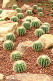 Golden Barrel Cactus plant Stock Images