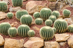 Golden barrel cactus plant Royalty Free Stock Photos