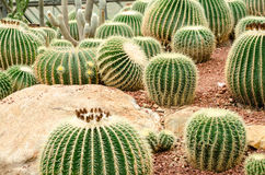 Golden barrel cactus plant Stock Photography