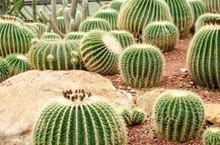Golden barrel cactus plant Stock Photography