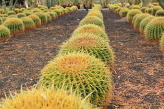 Golden Barrel cactus plant rows in desert landscaping Stock Image