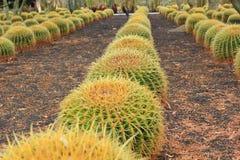 Golden Barrel cactus plant rows in desert landscaping. Golden Barrel (Echinocactus grusonii) cactus plants Stock Image