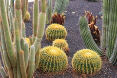 Golden Barrel cactus plants  in desert landscaping Royalty Free Stock Photos