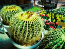 Golden Barrel Cactus in pots. Golden Barrel Cactus in pots sold within the store selling plants for landscaping stock photography