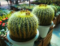 Golden Barrel Cactus. royalty free stock image