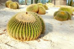 Golden barrel cactus on the sandy land in a garden. Group of Echinocactus grusonii species round plants stock photography