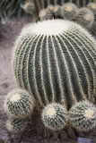 Golden Barrel Cactus. With small cactuses - Echinocactus grusonii royalty free stock photo
