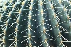 Golden Barrel Cactus Spines. Up close view of the spines of a Golden Barrel Cactus.  Echinocactus grusonii stock photos