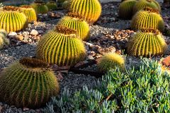 Golden barrel cactus with sunlight stock image