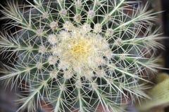 Golden Barrel Cactus, top view. Close up of Golden Barrel Cactus on a pot, top view stock photo