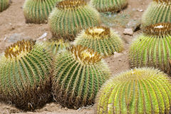Golden barrel cactuses Stock Photo