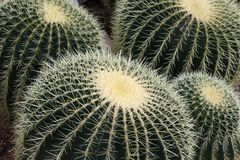 Golden barrel - Echinocactus grusonii Stock Image