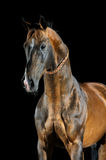 Golden bay Akhal-teke horse on the dark background. Portrait of the golden bay Akhal-teke horse on the dark background royalty free stock photos