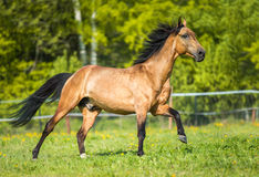 Golden bay Akhal-teke horse playing on the meadow. Golden bay Akhal-teke horse runs gallop on the meadow stock photography