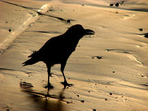 Golden Beach Crow. Crow silhouette on a golden sands background Royalty Free Stock Photos