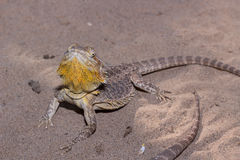 Golden bearded dragon lizard Royalty Free Stock Photos