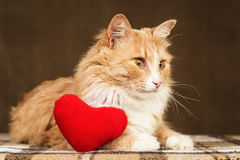Golden beautiful cat looking ahead, near small red plush heart toy. Royalty Free Stock Image
