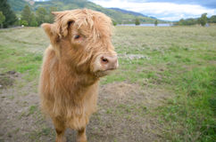 Golden beautiful Highland hairy Cow standing on grass. Royalty Free Stock Image