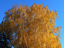 Golden Beauty. Fall colors in Redmond, OR royalty free stock images