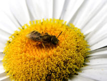 Golden bee Stock Photo