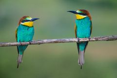 Golden bee-eater3 Royalty Free Stock Images