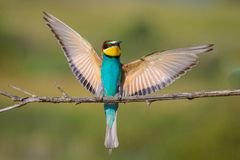 Golden bee-eater4 Stock Photography