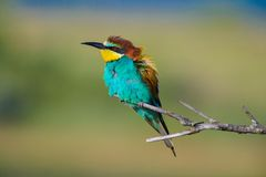 Golden bee-eater Stock Photo