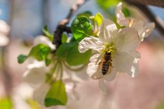 Golden bee pollinating apple flower. Bee sitting on white flower`s petal royalty free stock images