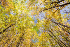 Golden beech crowns in the blue sky Royalty Free Stock Photos