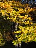 Golden beech tree Stock Photography